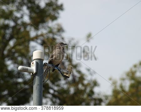 A Mockingbird Sits On The Projects Gardens Water Sensors That Were Planted Two Years Or More Ago To