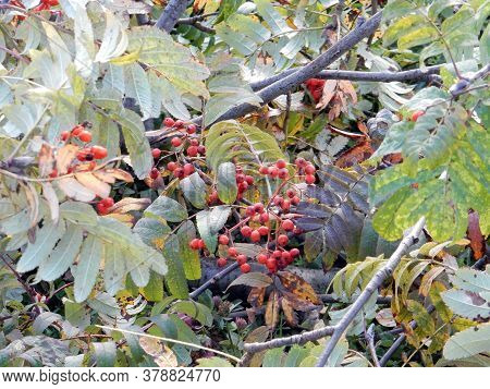 Red Rowanberry And Autumn Rowan Leaves On A Branch, Blurred Background, Selective Focus