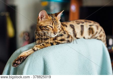 Little Bengal Kitty Laying On The Backrest Of An Armchair At Home