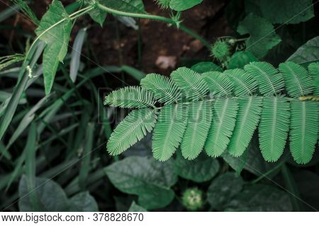 Close Up Green Leaf A Sensitive Compound Leaf Of Mimosa Pudica Is A Short Shrub Of A Member Of The L
