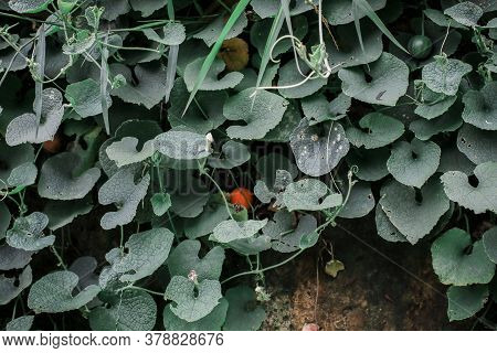 Beautiful View Vegetable, Bunch Of Ivy Gourd Leaves Named