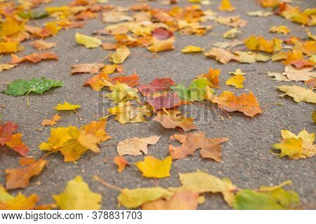 Yellow And Red Leaves Lie On The Road. Maple Leaves On The Asphalt. Autumn Leaf Fall. Fallen Leaves