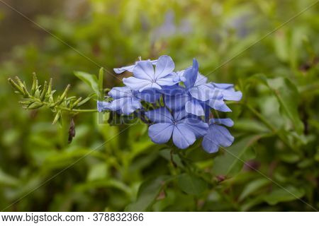 Beautiful Blue Cape Leadwort Or White Plumbago Bloom In The Garden, Is A Thai Herb And Contains Prev