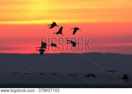 The Common Crane (grus Grus), Also Known As The Eurasian Crane, A Flock Of Cranes Flying In The Suns