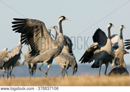 The Common Crane (grus Grus), Also Known As The Eurasian Crane, Flock Of Cranes Dancing In The Meado