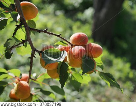 Ripe Apricots On The Orchard Tree. Nature Background.