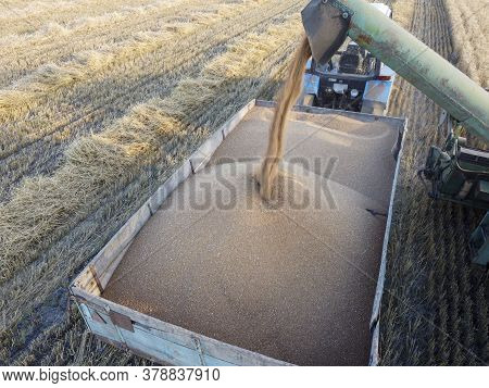 Grain Auger Of A Combine That Pours Wheat Grain Into A Tractor Trailer.