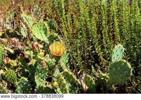 Prickly Pear Cacti With A Flower Blossom Surrounded By Chaparral Shrubs Taken In The Mojave Desert D