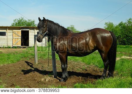 The Adult Horse Is Standing Next To The Hitching Post.