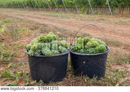 Bucket With A New Crop Of Ripe White Grapes. The Grapes Are Ready For Wine Production. White Ripe Gr