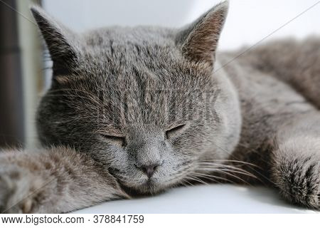 British Shorthair Cat Sleeping Or Resting. Cute Sleepy Grey Cat. Calm And Relaxed Pet. Animals As Fr