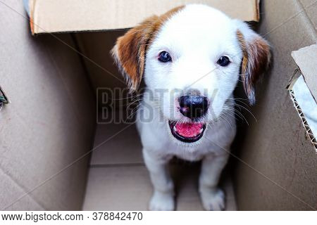 Cute Puppy In A Box, Pets Adoption Concept.