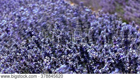 Lavender flowers swaying in the wind for background. Close view of blossoms on aromatic plants in Provence, in South France. Relaxing scene of beautiful nature. Ecological fragrance ingredients.