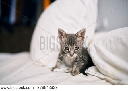 Beautiful and cute furry grey small kitty cat playing on the bed on a sunny day