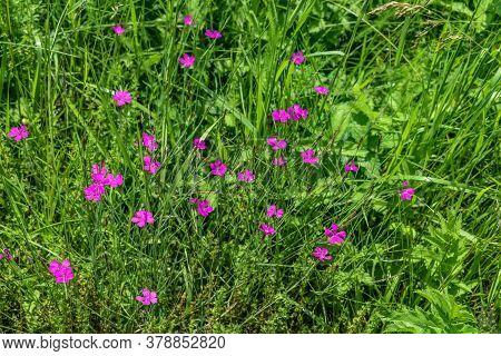 Beautiful Bright Pale Pink Wild Carnations Among Meadow Spring-summer Grass. Glade With Bright Small