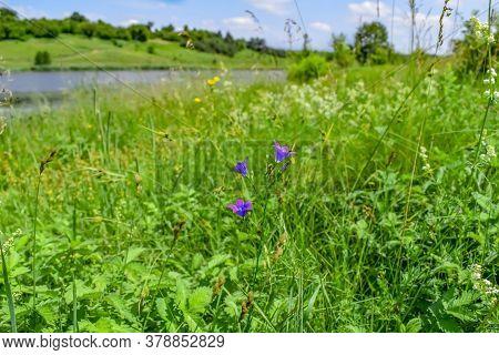 Single Beautiful Campanula Patula Flower On A Green Spring-summer Meadow Near The Pond. Sunny Landsc