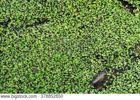 Green Natural Texture Of Lesser Duckweed Close-up. Swamp Freshwater Floating Plant With Round Leaves