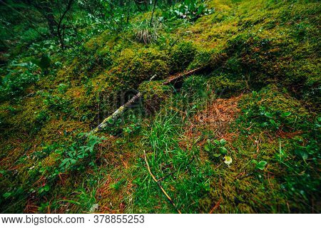 Beautiful Taiga Background With Rich Flora On Mossy Streep Slope. Fresh Greenery Among Thick Mosses