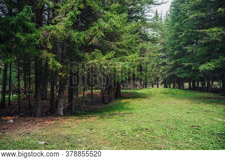 Atmospheric Forest Scenery With Meadow With Stones Among Firs In Mountains. Scenic Landscape With Gl