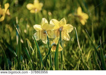 Beautiful Yellow Daffodils Field In Spring Time