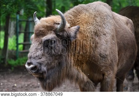 European Bison (bison Bonasus), Also Known As Wisent Or The European Wood Bison Grazing  In The Wood