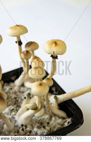 Hallucinogenic Psychedelic Drug. Fresh Psilocybin Shroom. Fungi Hallucinogen.