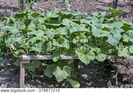 Garden In The Yard With A Cucumber Plantation For Own Needs.