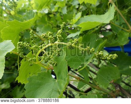 Young Green Unripe Grapes. Grapevine With Baby Grapes Branche
