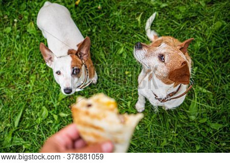 two jack russel parson terriers waiting tortilla with chicken