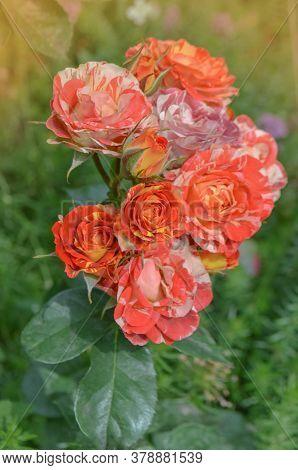 Striped Pink Orange Roses Grown