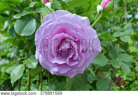 Lady Perfume Rose. Rose Flowers In The Garden