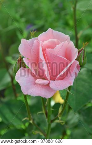 Bush Of Pink Roses. Pink Flowers In Garden.