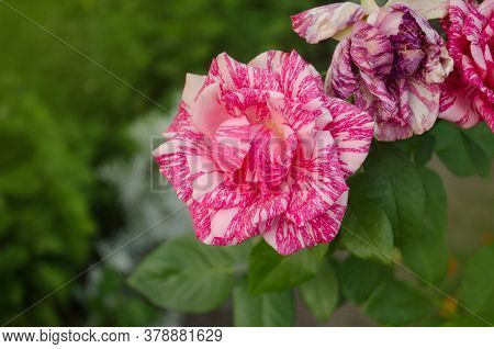 Pink Roses With White Stripes Pink Intuition.