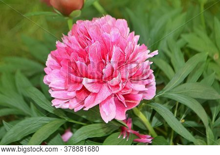 Pink Peony With Green Leaves On Blurry Bokeh Background