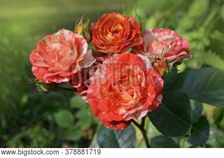 Two Tone Roses Flower In The Garden.