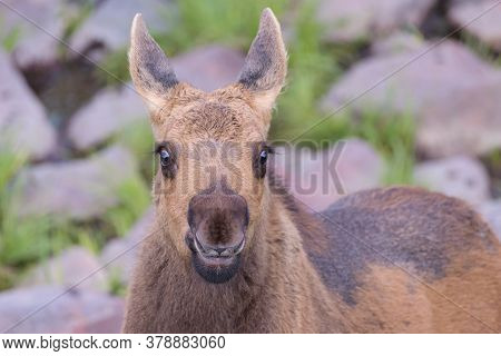 Moose Calf Head Shot. Colorado Moose Living In The Wild