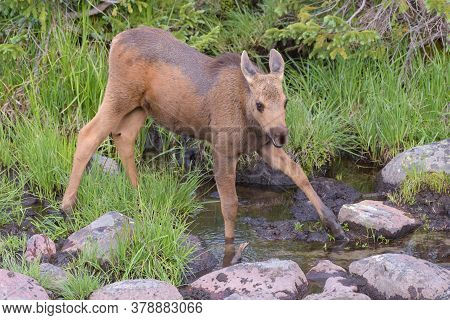 Calf Drinking Water From A Spring. Colorado Moose Living In The Wild