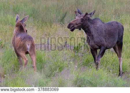 Colorado Moose Living In The Wild. Young Bull Approaching A Calf.