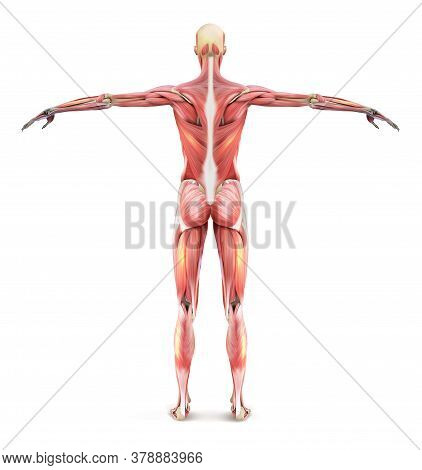 The Structure Of The Human Muscle Frame. Human Anatomy From The Back. Realistic Vector Illustration.