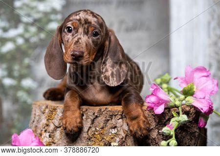 Dogs dachshunds puppy , dog portrait