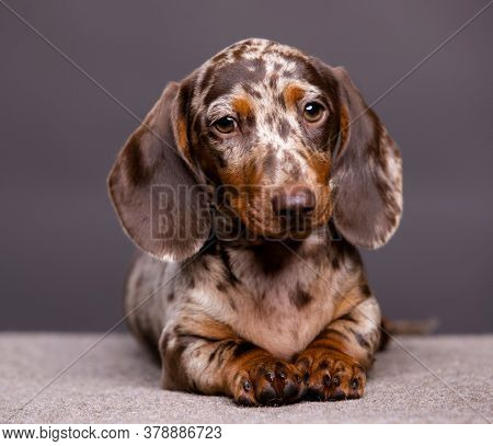 Dogs dachshunds puppy , dog portrait