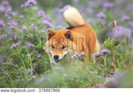 Cute And Happy Red Shiba Inu Dog Running In The Violet Flowers Field. Phacelia Blossoms. Beautiful J