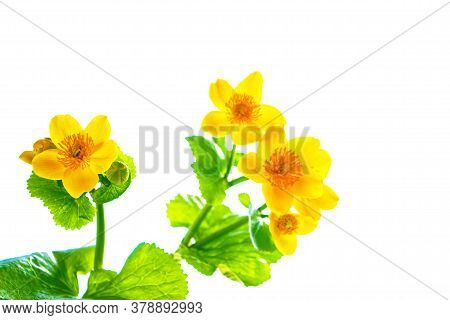 Yellow Flowers Of Marsh Marigold Isolated On White Background. Wildflower. Cowslip