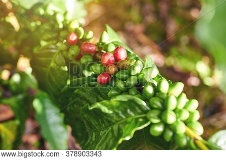 Macro View Of Red Coffee Beans