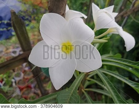 Plumeria Pudica Is A Species Of The Genus Plumeria Native To Panama, Colombia And Venezuela.close Up