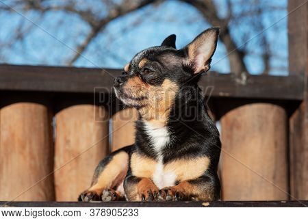 Little Cute Chihuahua Dog Lying. Close Up Little Chiwawa Dog Lying. Puppy Outdoors. Chihuahua Mini S