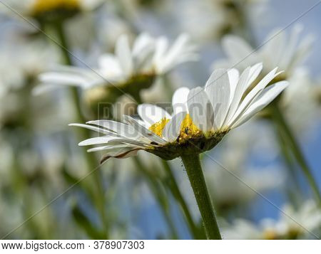 Closeup Of A White Oxeye Daisy Flower In A Summer Garden