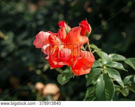 Flower Poppy Flowering On Background Poppies Flowers. Nature.