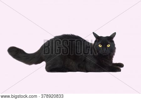 Beautiful Fluffy Black Cat Isolated On A Pink Background. Cat With Yellow Eyeslies Full Length. Pets