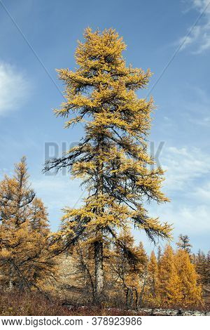 Siberian Larch With Orange Needles In Autumn Against A Blue Sky. A Shaggy Old Coniferous Tree Of Nor